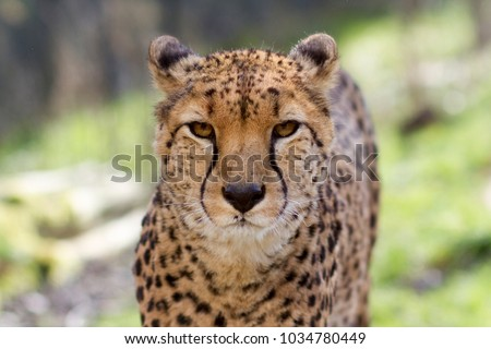 Cheetah portrait with a head on view #1034780449