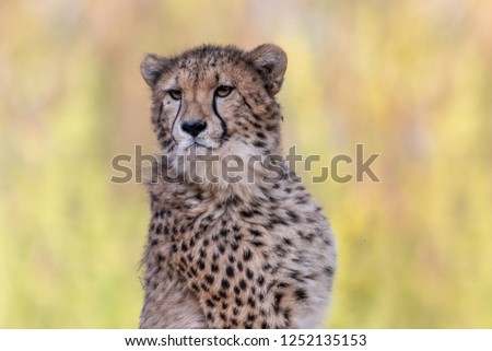 Cheetah portrait with green blurred background. Cheetah (Acinonyx jubatus) is a beautiful big cat with spotted pelage and black tear-like streaks on the face. #1252135153