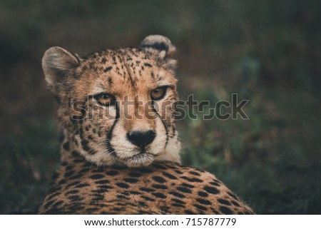 cheetah rested  but the eyes...