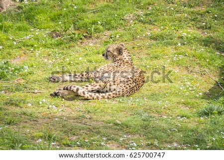 Cheetah resting lying on the grass, Acinonyx jubatus #625700747