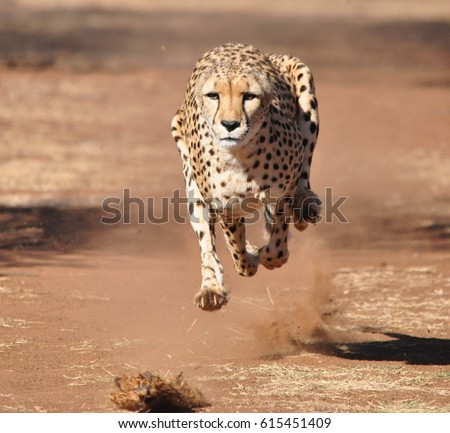 Cheetah running, completely airborne #615451409