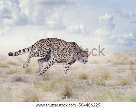 Cheetah Running in The Grassland