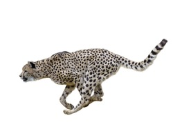 Cheetah  Running ,Isolated on white Background