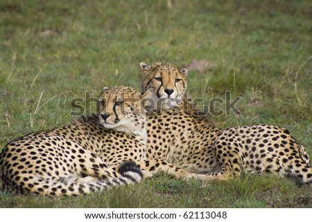 Cheetah sisters on grassland #62113048
