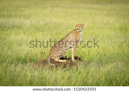 Cheetah sits on termite mound in grass Zdjęcia stock ©