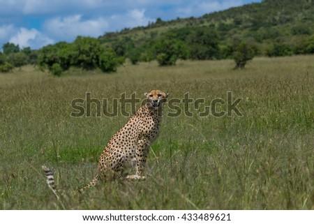 cheetah sitting #433489621