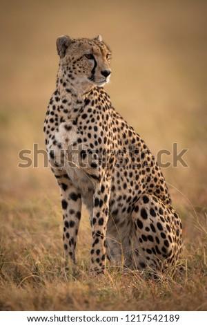 Cheetah sitting in grassy plain turning right