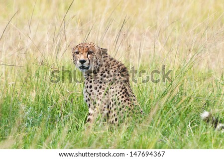 cheetah sitting in the high grass looking at camera - savannah in the national park masai mara in kenya