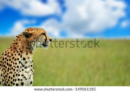 cheetah sitting in the high grass looking at camera - savannah in the national park masai mara in kenya