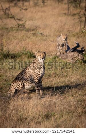 Cheetah sitting near cub standing on log #1217542141