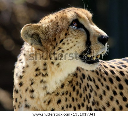 Cheetah snout in profile