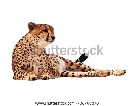 Cheetah spotted isolated at white