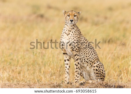 Cheetah spotting a prey