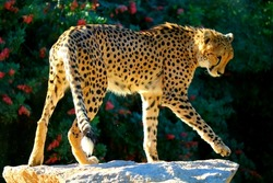 Cheetah standing on rock
