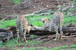 Cheetah stretching, waking up, game reserve, wildlife, big5, two males in their natural habitat