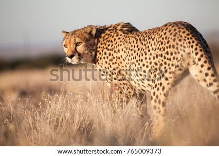 Cheetah, this beautiful picture was taken in the warm morning light while laying in the grass at approximately 6 meters from this proud animal