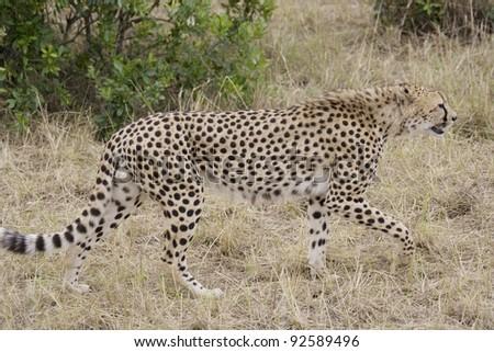 Cheetah walking across the Masai Mara