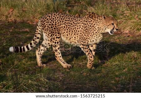 Cheetah walking around at Le Parc des Felins, Paris #1563725215