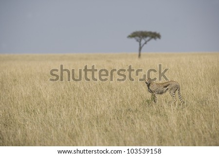 Cheetah walking in the Masai Mara