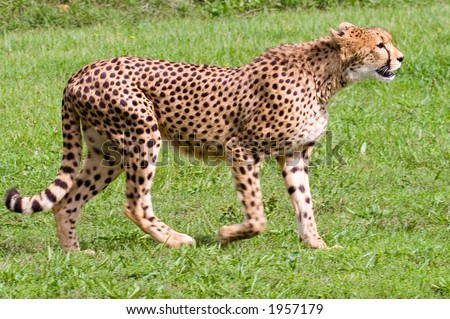 Cheetah walking to right of frame