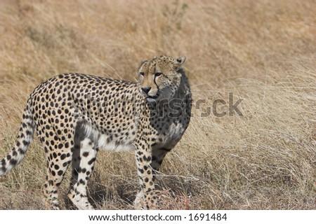 Cheetah watchful, looking around, Acinonyx jubatus;