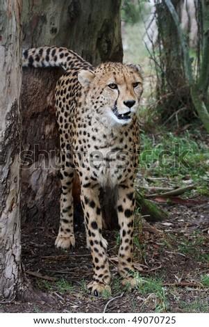 Cheetah wild cat spraying urine onto a tree to mark territory stock