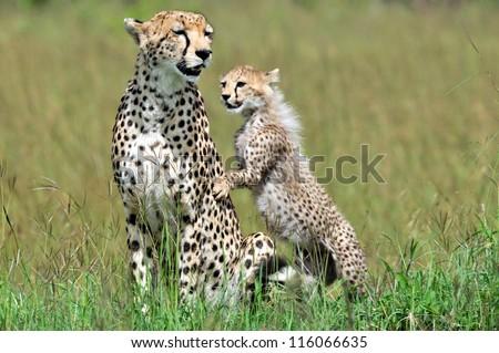 Cheetah with cub, Acinonyx jubatus