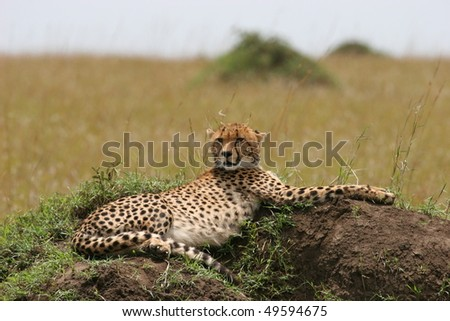Cheetah with cub resting in the grass with sunlight