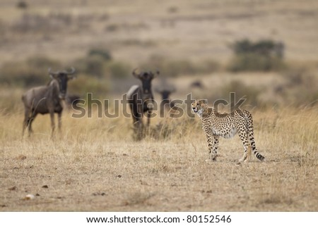 Cheetah with wildebeests in the background, Maasai Mara National Reserve, Kenya, East Africa
