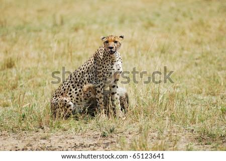 Cheetah with young cub in Masai Mara, Kenya