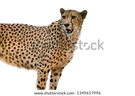 "Cheetahs have ""tear marks"" that run from the inside corners of their eyes down to the outside edges of their mouth."