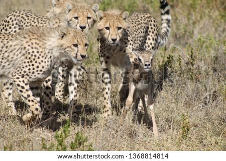 cheetahs hunting baby gazelle #1368814814
