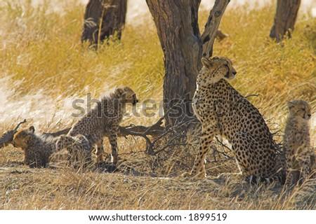 Cheetahs in Kalahari Desert, Southern Africa