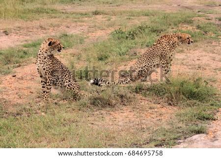 Cheetahs, Kenya #684695758
