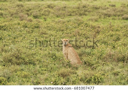Cheetahs of Serengeti #681007477