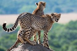 Cheetahs on a termite hill in the Masai Mara