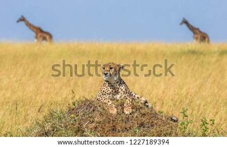 Cheetahs on the hill in the savannah. In the background, two giraffes walk along the savannah.  Kenya. Tanzania. Africa. National Park. Serengeti. Maasai Mara.