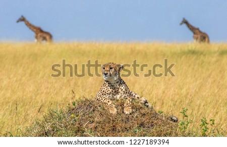 Cheetahs on the hill in the savannah. In the background, two giraffes walk along the savannah.  Kenya. Tanzania. Africa. National Park. Serengeti. Maasai Mara.