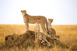 cheetahs watching prey in Serengeti National Park, Tanzania