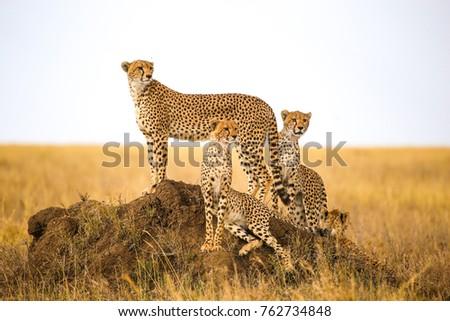cheetahs watching prey in Serengeti National Park, Tanzania