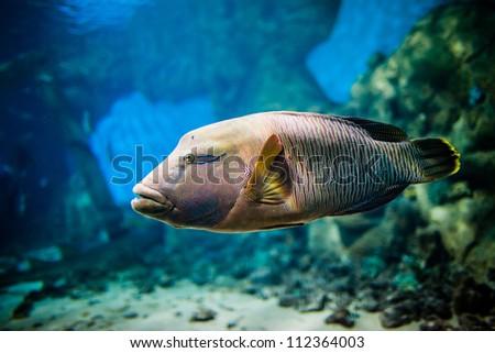 Cheilinus undulatus in an aquarium