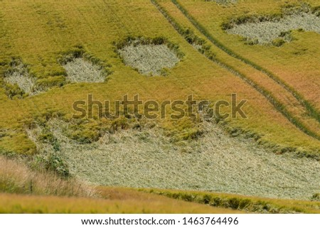 Cheltenham, Gloucestershire, England, UK. July 2019.  Storm damaged crops in a farmers field much of the crop is laying flat after strong winds and lightening.