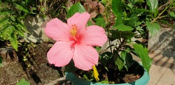 Chembarathi Hibiscus flower in summer and autumn