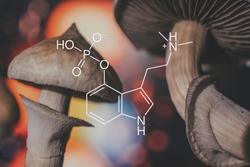 chemical formula of psilocybin on a blackboard Mushroom. Psilocybin mushroom. Close up Magic shroom. Psychedelic drug. Dry Psilocybe cubensis. Albino A strain.