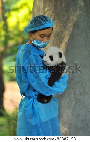CHENGDU - OCTOBER 16: Unidentified caretaker inspects a 2-month-old panda cub on October 16, 2011 in Chengdu, China. Pandas are an endangered species and only about 1,500 live around the world today.