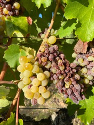 Chenin Blanc - white  wine grapes in France vineyard. This is sweet variety .