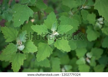Chenopodium album close up