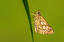 Chequered Skipper - Carterocephalus palaemon, small brown yellow dotted butterfly from European meadows, Zlin, Czech Republic.
