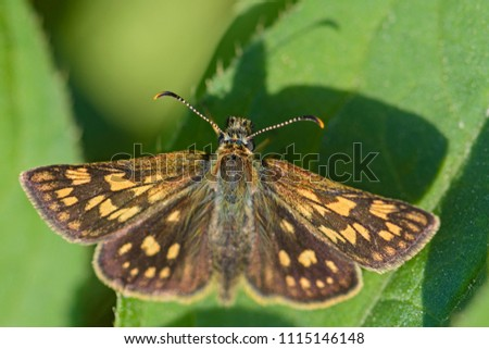 Chequered Skipper - Carterocephalus palaemon, small brown yellow dotted butterfly from European meadows.