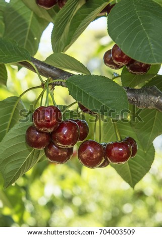 cherries branch, juicy cherries #704003509